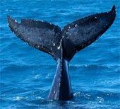 Campaña contra la matanza de ballenas