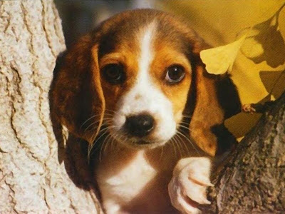 Beagle Dogs Breeds