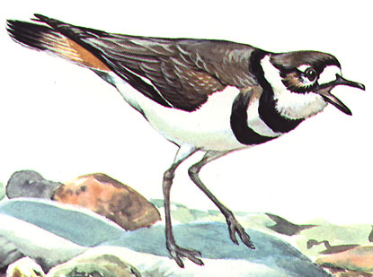 [birds-killdeer-clipart.JPG]