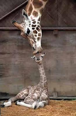 pictures of animal giraffe habitat
