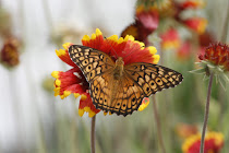 Varigated Fritillary