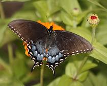 Dark Tiger Swallowtail