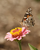 Painted Lady Wings Together