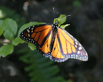 Monarch