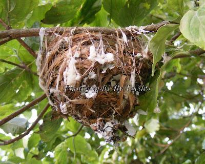 Red eyed vireo nest - photo#14