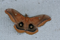 Polyphemus Moth