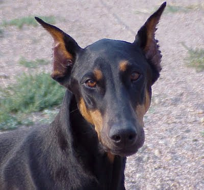 doberman dog Karla