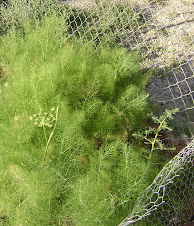 organic fennel
