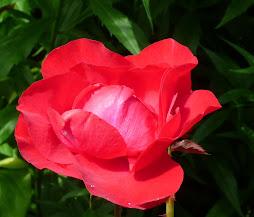 Apenas uma rosa