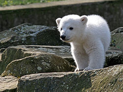 Knut the white~