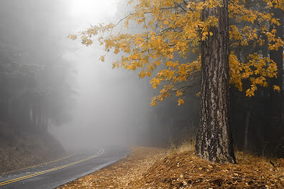 Yellow Leaves in Fog