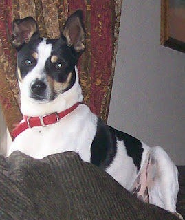 house Rat in terrier pees and