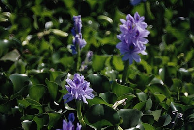 water hyacinths in bloom