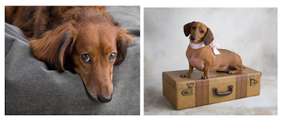 two dachshund photos
