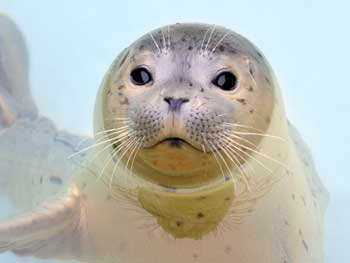 seal, up for adoption