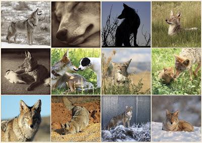 coyote calendar