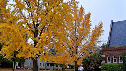 Gingko tree Autumn finery...