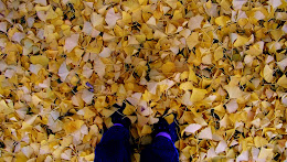 Gingko leaves covered the ground...