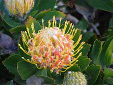 Protea cape of good hope