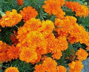 marigolds essay marigolds essay marigolds by eugenia collier essay paper better flowers ideas
