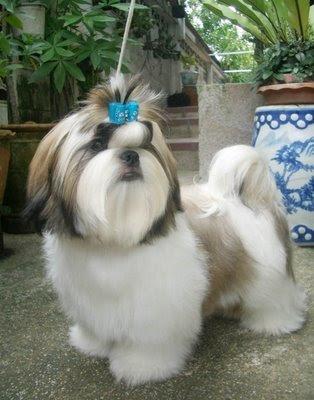 shitzu hairstyles. shitzu
