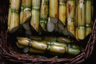 cultivo caña azucar