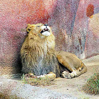 Lion at the LA Zoo (c) David Ocker