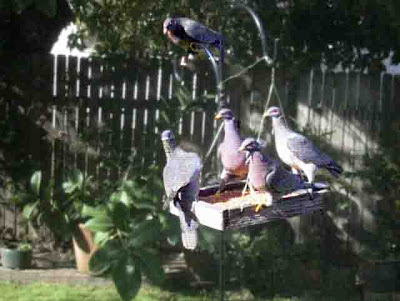 4 Band-Tailed pigeons playing poker on the bird feeder in our backyard - plus one kibbutzer