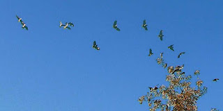 Flock of wild parrots in flight, Pasadena CA