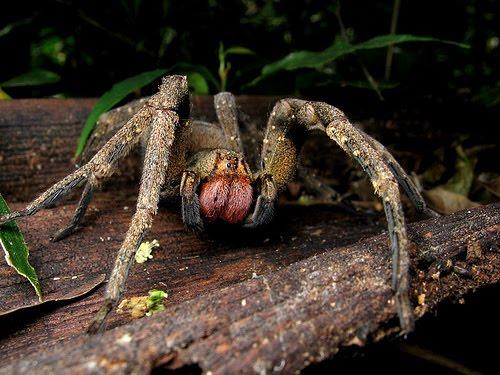 arañas mortales