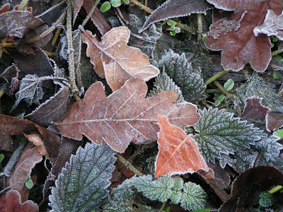 photograph of frosty leaves