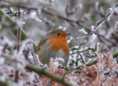 robin on an icy branch