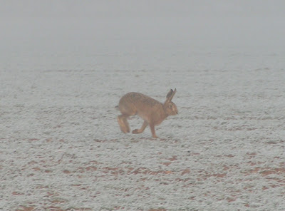 hare on a frosty field