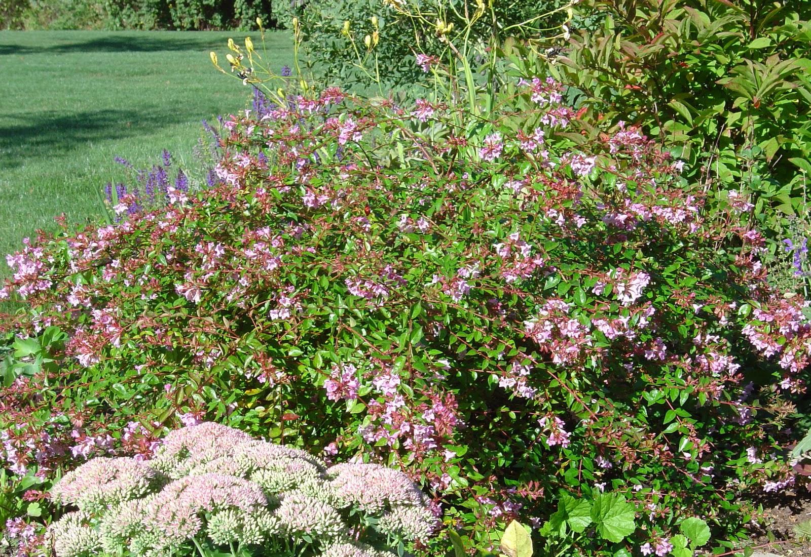 plant inventory at 20 timothy abelia x grandiflora glossy abelia. Black Bedroom Furniture Sets. Home Design Ideas