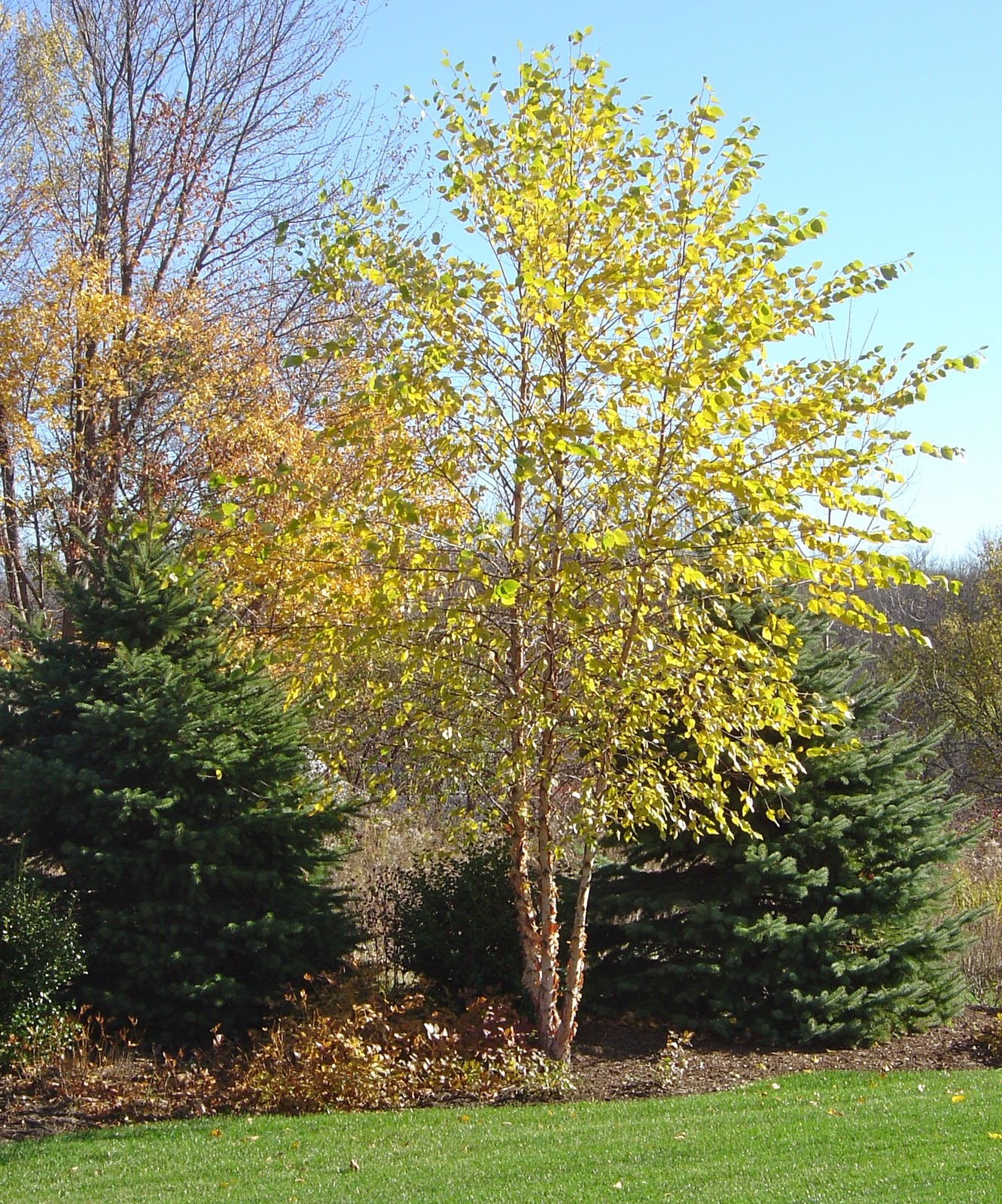 How to Grow Birch Trees recommend