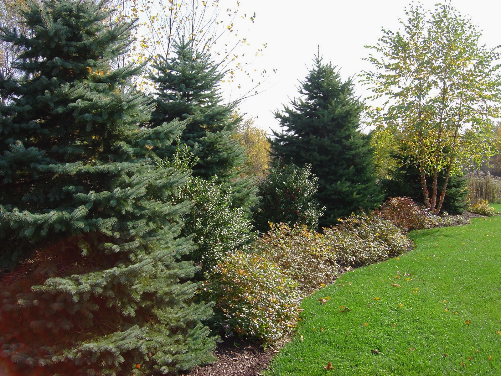 Plant Inventory Picea Pungens Colorado Blue Spruce
