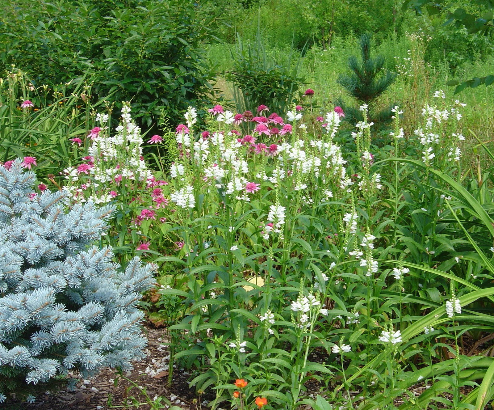 Plant Inventory at 20 Timothy : Physostegia / Obedient Plant