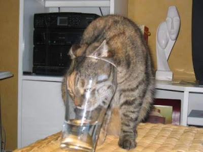 drunk cat gato bebado