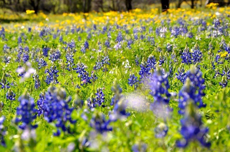 texas bluebonnets fredericksburg