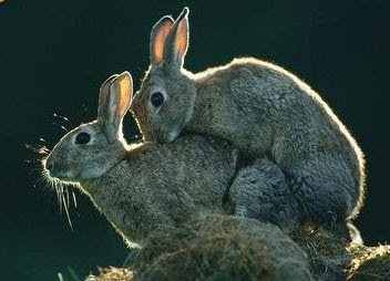 Rabbits_mating.jpg