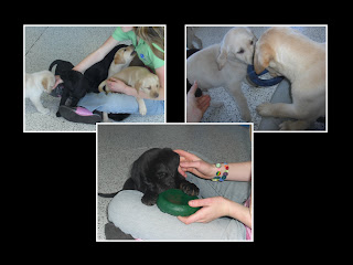Layout of 3 pictures of the cute puppies in the Puppy kennel. 1 photo you can see 5+ puppies in my lap, the second is 2 puppies playing tug, and the third is of a cute black puppy chewing on a toy