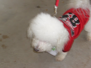Picture of a cute white doggy Toby made friends with, he is wearing a red shirt