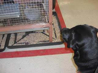 Photo of Duchess watching a little grey bunny in Tractor Supply