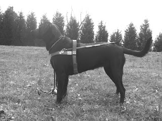 Black/white picture of Duchess wearing the harness.  It was taken in the same spot as the one with Toby in harness(just like the header picture) - and she is in a stand-stay looking straight ahead