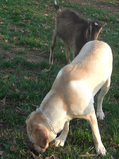 Picture of Toby sniffing the ground - and the brownish/black goat sniffing him (her name is Ginger)