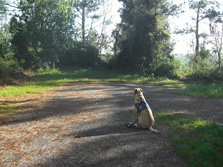 Photo of Toby in a sit-stay on the path, you can see green grass and trees beside him