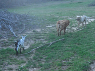 Picture of Toby, Red and Fresca in the fence chasing each other