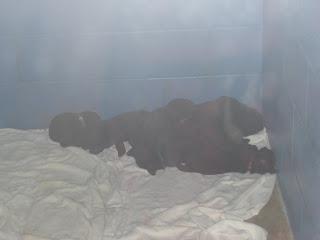 Close up of the cute black goldador puppies