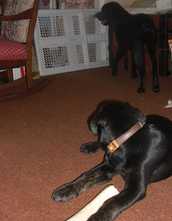 Photo of Rudy in a down, he's staring behind him at Sparkie who's standing up in the background