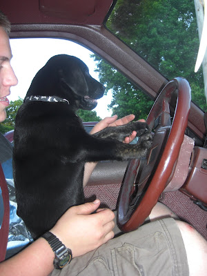 Picture of Rudy sitting in the driver's seat, with his paws on the steering wheel
